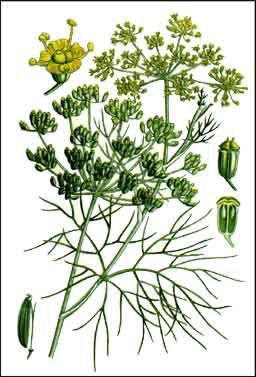 Liste de plantes pour les soins Fenouil2