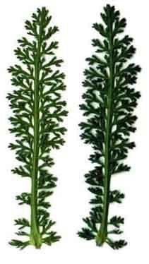 millef2 dans Mon repertoire des plantes les moins usitees