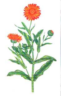 Le Souci En Phytotherapie Description Culture Recolte Usages